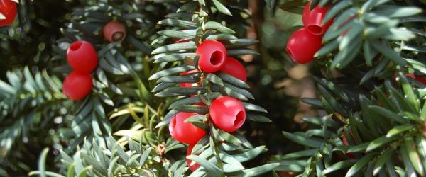 taxus-baccata-berries