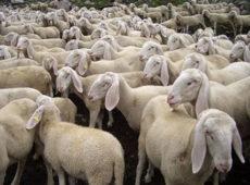 1478425803-0-zoomafia-ecco-come-funziona-la-cupola-del-bestiame-in-sicilia