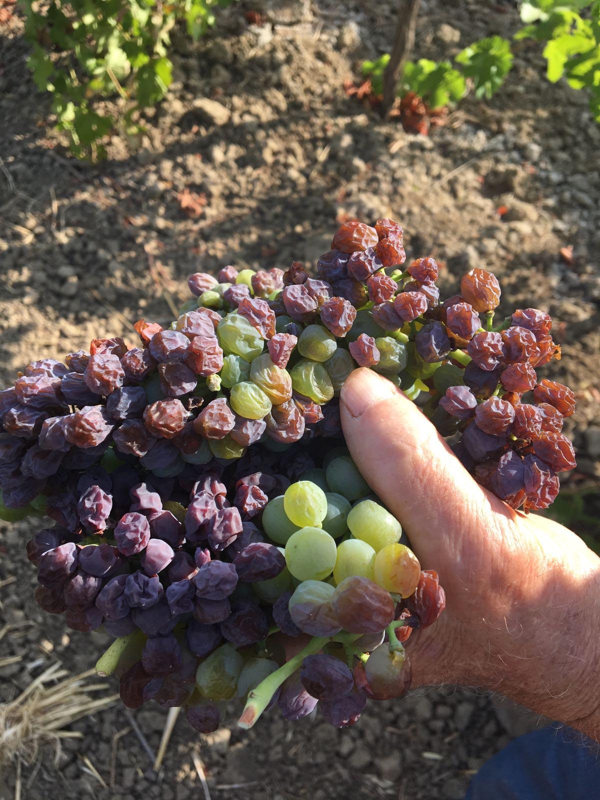 foto dichiarazione stato di calamità vitivinicoltura