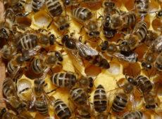 A Mirto un progetto per salvare l'ape sicula