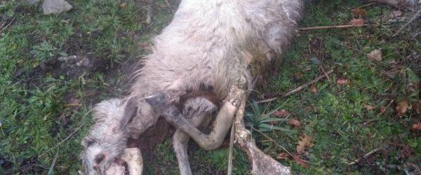 carcassa ovino azzannato dai cani